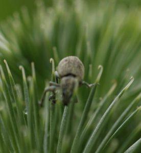 マレーバグ虫