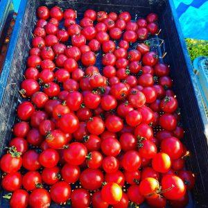 ボルゲーゼトマト